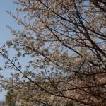 Cherry var. Yamazakura/ ヤマザクラ 花の咲いている様子