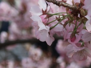 Cherry var. Chousiuhizakura/チョウシュウヒザクラ 花の様子 横側