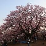 Cherry var. Chousiuhizakura/チョウシュウヒザクラ 花の咲いている木の全景