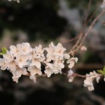 Cherry var. edohigan/ エドヒガン 花の姿