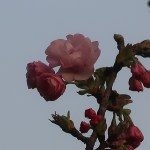 cherry var. Gosyozakura/ ゴショザクラ つぼみから開き始めた花の様子