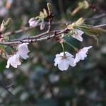 Cherry Kasumizakura/ カスミザクラ 花の様子