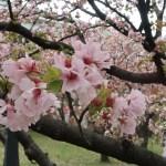 Cherry var. Takasago/ タカサゴ