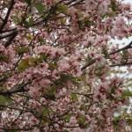 Cherry var. Takasago/ タカサゴ 花の咲いている様子