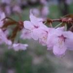 Kurile cherry / チシマザクラ 花の姿