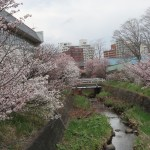 Kurile cherry / チシマザクラ 花の咲いている様子