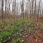 Asian skunk-cabbage/ ミズバショウ 花の咲いている群落の様子