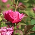 China rose/ コウシンバラ 原種交雑種