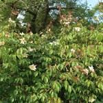 Rosa gigantea/ ロサ・ギガンティア 花の咲いている様子