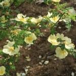 Manchu rose/ キバナハマナス 花の姿