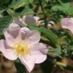 Dog rose/ イヌバラ ロサ・カニーナ