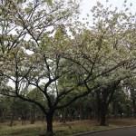 Cherry var. Ichihara toranoo/ イチハラトラノオ 花の咲いている木の様子(全景