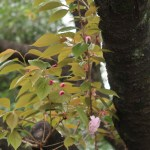 Cherry var. Kirin/ キリン まばらに咲き始めた花と蕾