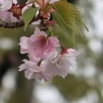 Cherry var. Yae Beniooshima/ ヤエベニオオシマ 花の様子