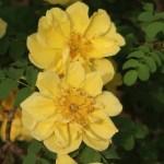 Manchu rose/ キバナハマナス