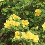 Manchu rose/ キバナハマナス 花の咲いている様子