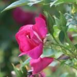 Species Cross rose/ Rosa chinensis major ロサ・キネンシス・メイジャー 花の姿 咲き始め