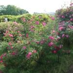 Species Cross rose/ Rosa chinensis major ロサ・キネンシス・メイジャー 花の咲いている様子