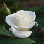 Modern garden rose/ Ginsekai 銀世界