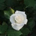 Modern garden rose/ Ginsekai 銀世界 花の様子