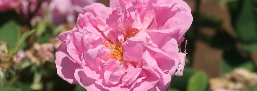 Old rose/ Damask Rose/ ダマスクスローズ 花の姿