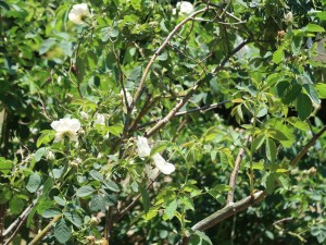 Old garden rose/ Alba Semi-plena アルバ セミプレナ 花の咲いている様子
