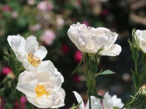 Old garden rose/ Alba Semi-plena アルバ セミプレナ 花の姿