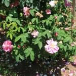 Old rose/ Rosa Gallica versicolor ロサ・ガリカ・ウェルシコロル 花の咲いている様子