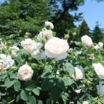 Species Cross/ Rosa alba maxima ロサアルバ マキシマ 花の咲いている様子