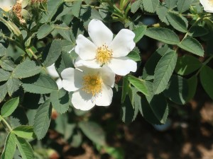 Wild rose/ Rugosa rose ハマナス 花の咲いている様子 白花