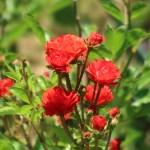 Modern garden rose/Golden Salmon Superieur ゴールデン・サーモン・スペリエール 花の咲いている様子