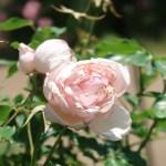 Old garden rose/ Duchesse de Brabant デュシェス・ド・ブラバン 花の姿