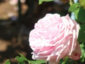modern garden rose/ La france ラフランス 花の姿