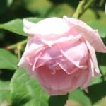 modern garden rose/ La france ラフランス