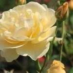 Modern garden rose/ English Roses/ Graham Thomas グラハム・トーマス