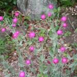 Rose campion/ スイセンノウ 花の咲いている様子