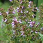 Common Sage/ コモンセージ 花の咲いている様子