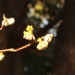 Oriental Paperbush/ ミツマタ 蕾の様子
