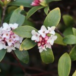 Winter Daphne/ ジンチョウゲ 花の様子