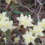 ヒカゲツツジ 花の様子