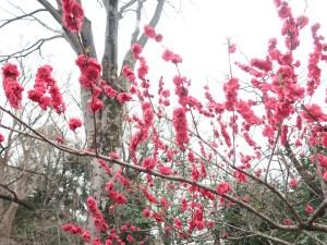 Peach/ モモ 花桃 花の咲いている様子