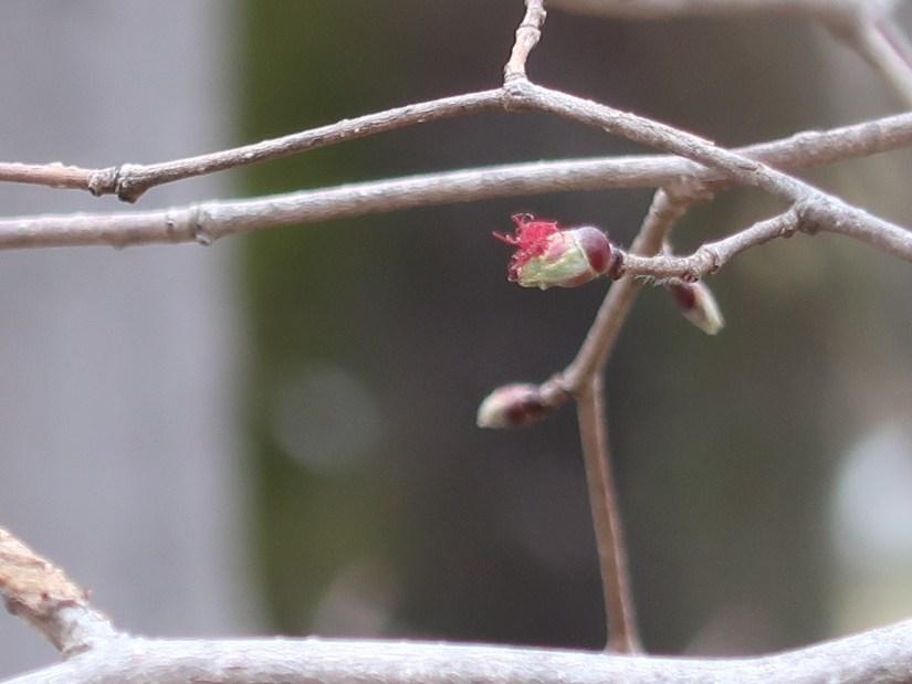 Asian Beaked Hazel/ ツノハシバミ