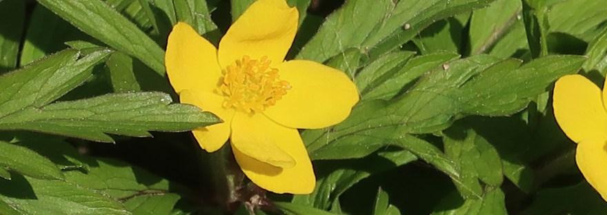 Yellow anemone/ キバナイチゲ