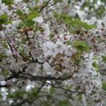 Cherry var. Shirayuki/ シラユキ 花の咲いている様子 散り始め