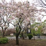 Cherry var. Syogetsu ショウゲツ 花の咲いている木の様子