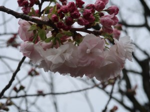 Cherry var. Fukurokujyu/ フクロクジュ 花の様子