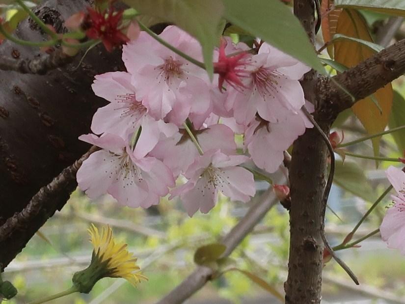 Cherry var. Kenrokuen kumagai/ ケンロクエンクマガイ