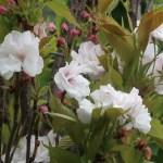 Cherry var. Amanogawa/ アマノガワ 花の様子
