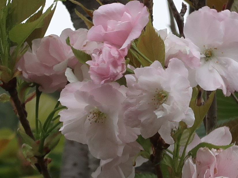 Cherry var. Amanogawa/ アマノガワ