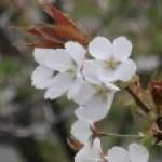 Cherry var. Surugadai nioi スルガダイニオイ 花の咲いている姿